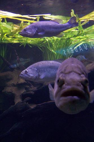Predator bass