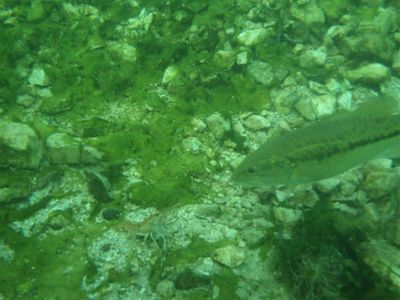 Underwater photo - bass looking at a crayfish lunch